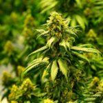 marijuana_age_gator